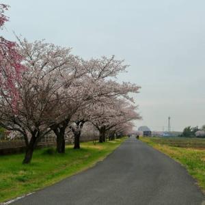 今年見納めのヒガハスの桜