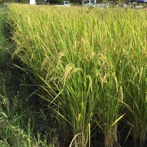 稲刈りと秋の空