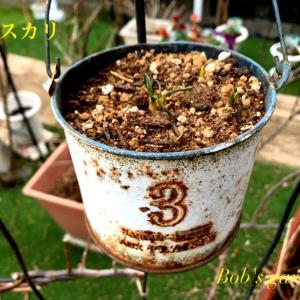 球根の芽が