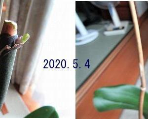 その後の胡蝶蘭