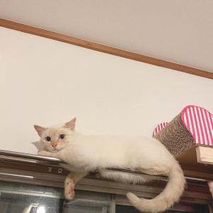 【迷子猫ちゃん情報】豊田市内で迷子になっている猫ちゃん達を探していらっしゃいます