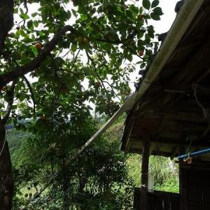 雨どいと柿