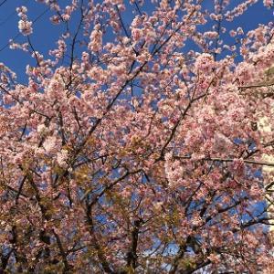 桜の木を見に・・・
