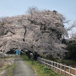 今日の秋川4月6日(桜)
