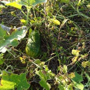 エンドウ豆を植える(R2.11.27)