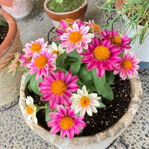お客様の玄関に咲いていたそれは【ジニアという花】