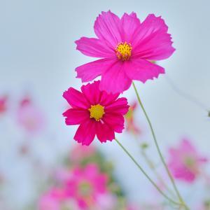 風景★散歩道の秋桜