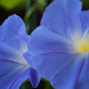 風景★朝顔と紫陽花とクマンバチ