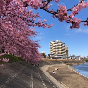岡崎 菅生川沿の葵桜