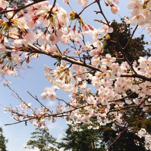 夜桜を求めて
