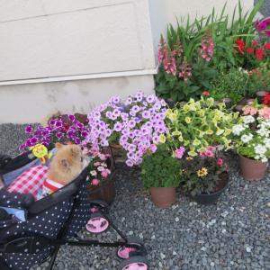 花とポメラニアンとポメラニアン