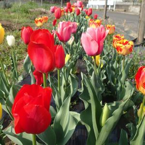 ♪咲いた~♪咲いた~♪チューリップの花が~