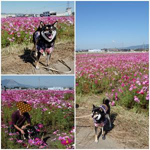 柴犬と秋桜