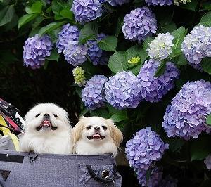 紫陽花散歩。