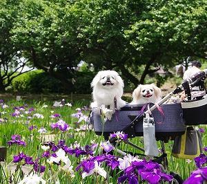 ワクチンDAY&菖蒲散歩
