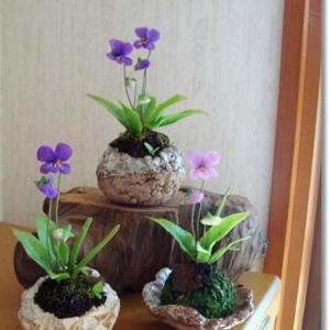 すみれの鉢植え