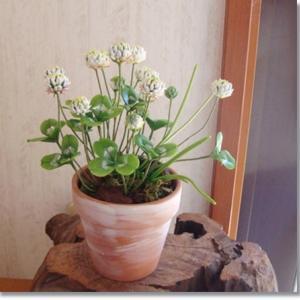 白詰め草の鉢植え