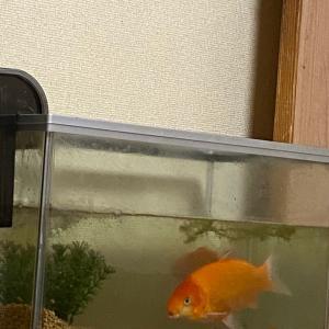 金魚のお引っ越し