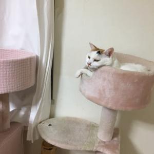 新しい猫タワーがあるのにあえて古いのを選ぶユキちゃん