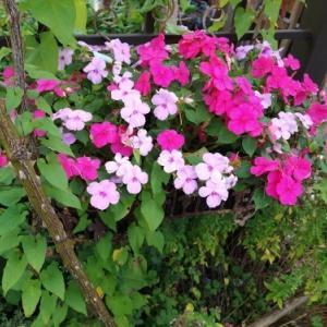 秋の庭、冬瓜は大きくなれるか。韓国系の友人の来訪