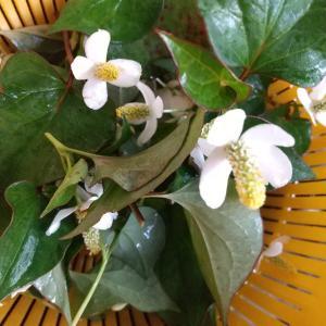 ドクダミのお花