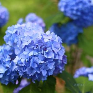 紫陽花の夏