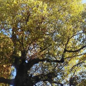 春の到来…クスノキの落ち葉
