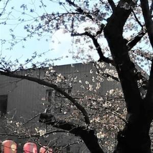 桜咲く・・・大田区馬込