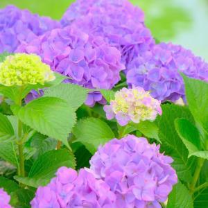 今年の紫陽花は遠慮しながら。