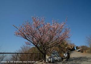 1年振り、国府津山の1本桜♪