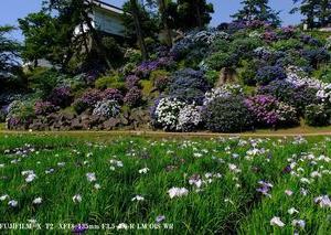 小田原城本丸東堀の紫陽花と花菖蒲は見頃でした。