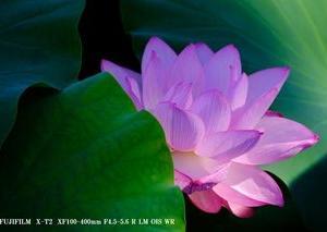 小田原城の蓮の花
