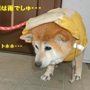 柴のだいちゃん ヾ(o´∀`o)ノ