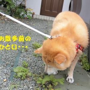 雨上がりのシソ  o(^▽^)o