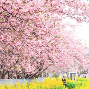 三浦海岸の河津桜を見に行きました(三浦市)