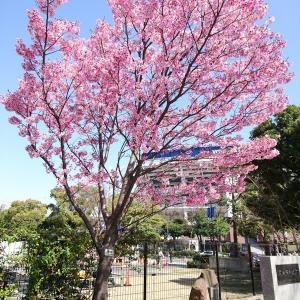 横浜スタジアムのYデッキ・横浜公園の桜とチューリップ(横浜市)