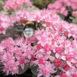 セイヨウマルハナバチはヒダカミセバヤの花がお好き。