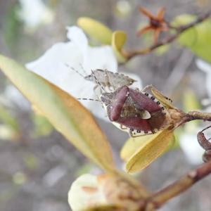 ブチヒゲカメムシの求愛行動。