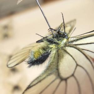 ヒメウスバシロチョウ×ウスバシロチョウのF1雑種♂の外見的特徴