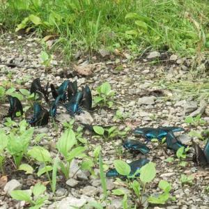 ミヤマカラスアゲハ吸水集団と美しい手のひら写真
