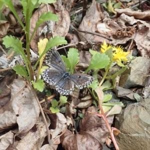 2020-7-4、北見市で春型紋様の夏型(2化)ジョウザンシジミ1♀を採集