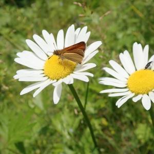 初夏、外来植物マルガリータに吸蜜する外来種昆虫筆頭カラフトセセリ