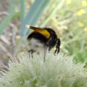 セイヨウオオマルハナバチのいる風景, このハチの存在意義は?