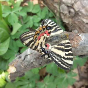 エゾヒメギフチョウの交尾はダイナミック
