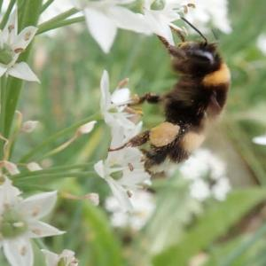 ニラの花にくる蜂たち
