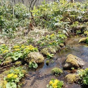早春、エゾノリュウキンカとエゾヒメギフチョウのいる美しい光景