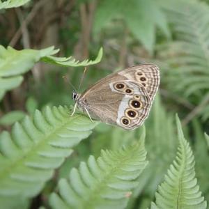 Lopinga  achine  yessoensis  ♀ 2020、夏。