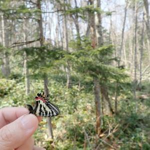 エゾヒメギフチョウの手持ち写真も、まんざらではありません。