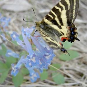 やたらと毛深いエゾヒメギフチョウ、エゾエンゴサクの青い花に吸蜜。
