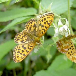 初夏の少し前、オホーツクの花々とホソバヒョウモン、カラフトヒョウモン。